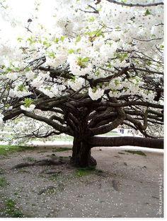 Sous un cerisier du Japon ...