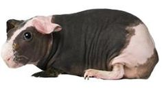 Hairless Guinea Pig...still love & miss you pippa and lulu! ♥   # Pinterest++ for iPad #
