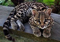 The Margay Tiger Cat - lives deep in the rain forests of Mexico and Argentina. It is remarkably agile; its ankles can turn up to 180 degrees, it can grasp branches equally well with its fore and hind paws, and it is able to jump up to 12 feet (3.7 m) horizontally.