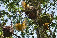 Taveta Golden Weavers by iphonetographer, via Flickr