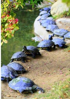 Turtles, unlike many other species, have mastered the art of queuing. Oh, crap, no they haven't.