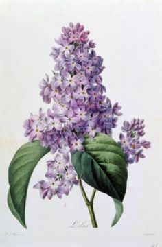 Shop Nature,botanical print,flower art of Lilac Poster created by worart. Personalize it with photos & text or purchase as is! Lila Tattoo, 1 Tattoo, Lilac Flowers, Vintage Flowers, Flowers Garden, Flower Prints, Flower Art, Flower Branch, Botanical Prints