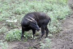 Conservation status: The lowland and mountain anoa are endangered.Found in: The island of Sulawesi in Indonesia. Fun fact: Like many of us in the human world, they are vegetarians and pretty chill animals. They are also one of the least-studied endangered species, as they are located in a remote part of Indonesia.