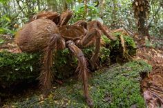 The Biggest And Largest Spiders in the World- South American Goliath Bird- Eater Tarantula