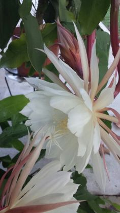 My Cereus night blooming Cactus