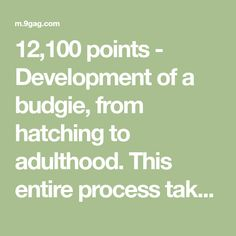12,100 points - Development of a budgie, from hatching to adulthood. This entire process takes only 40 days. - 9GAG has the best funny pics, gifs, videos, gaming, anime, manga, movie, tv, cosplay, sport, food, memes, cute, fail, wtf photos on the internet! Best Funny Pictures, Funny Pics, Parakeet Names, Budgies, Fails, Movie Tv, Gaming, Internet, Cosplay