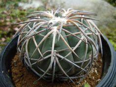 <Cactus, succulent> Gimuno Tenpyo round 2 (Sakyurento system) _ image 3