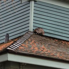 Our first visitor on a March Monday morning - trying to catch up on his sleep perhaps! #raccoon #oshawa #oshawamuseum