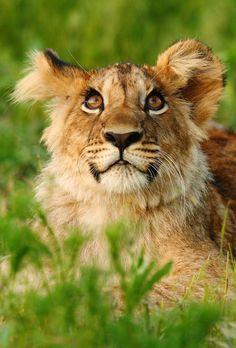 Photo by Michal Prasek Big Cats, Mammals, Lions, Wildlife, Lion