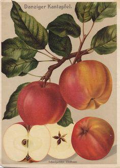 Vintage Printable Apple 'Danziger Kantapfel'