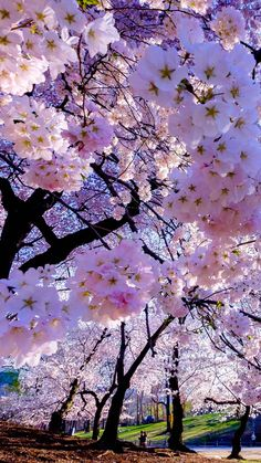 43 Ideas Sakura Tree Art Wallpaper For 2019 Beautiful Nature Wallpaper, Beautiful Landscapes, Beautiful Flowers, Flowers Nature, Spring Flowers, Spring Tree, Belle Photo Nature, Sakura Cherry Blossom, Japanese Cherry Blossoms