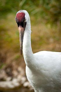 Texas Drought Imperils the Whooping Crane Crane Dance, Beautiful Birds, Texas, Butterflies, Creatures, Animals, Twitter, Nature, Plants