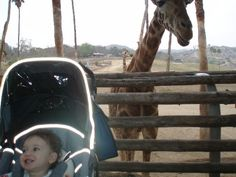 In the jungle, the mighty jungle, the lion sleeps tonight…and so can you. Who needs Africa and pesky mosquitoes when you can safari in San Diego? A game drive to the San Diego Zoo Safari Park (formerly the Wild Animal Park) transports SoCal visitors to the veld in under 2 hours. Their Roar and Snore…