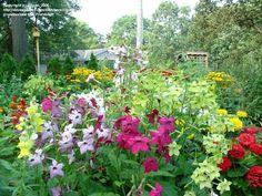 Nicotiana atau Tanaman Bunga tembakau menghasilkan bunga yang harum dan bentuknya seperti terompet. tersedia berbagai warna ada nuansa merah dan putih. Tidak membutuhkan perawatan yang sulit, yang dibutuhkan hanya air dan matahari. Tinggi tanamannya bisa mencapai 3-4 kaki ( 1 kaki = 30 cm) Germinasi : 7 - 14 hari