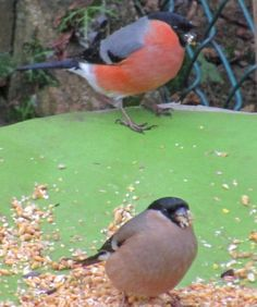 Mr and Mrs Bullfinch in the garden.