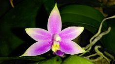 Phalaenopsis violacea var. indigo x Red