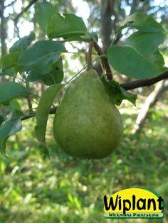 Pyrus communis 'Lück',  tysk sort. Frukterna är små-medelstora och rundlagda. Grundfärgen är gul med röd täckfärg på solsidan. Fruktköttet är knaprigt, saftigt och inte så mjukt. Smaken är angenäm och söt. Frukterna mognar i september.