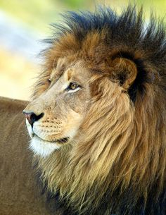 Handsome African lion looking majestic. Lion And Lioness, Lion Of Judah, Beautiful Cats, Animals Beautiful, Beautiful Creatures, Animals And Pets, Cute Animals, Wild Animals, Baby Animals