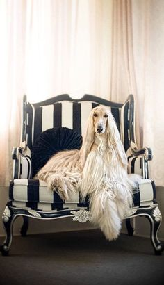best images, photos and pictures ideas about afghan hound dog - oldest dog breeds Beautiful Dogs, Animals Beautiful, Hound Dog Breeds, Love My Dog, Photo Animaliere, Tier Fotos, Weimaraner, Dog Photos, Images Photos