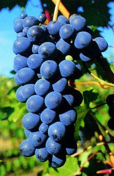 Pinot Nero: Assisi, Colli Altotiberini, Colli del Trasimeno, Colli Martani, Colli Perugini, Lago di Corbara, Rosso Orvietano, Torgiano.
