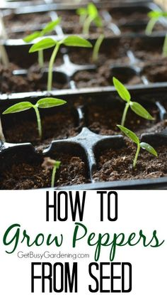 I've always been nervous to try growing my own peppers from seed,