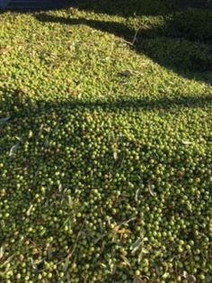 💡Bei der Olivenernte ist der Zeitpunkt der Ernte und die rasche Abwicklung maßgebend für die Qualität der Öle! Hauptsächlich zwischen Oktober und November werden Oliven geerntet, sie werden dabei vom Baum geschüttelt und in Netzen oder Planen aufgefangen. Vereinzelt werden sie sogar noch per Hand geerntet. Im zweiten Schritt werden die Oliven nach Qualität und Reifegrad sortiert. Nach dem Klassifizieren werden die Oliven von den Blättern getrennt, gereinigt, gewaschen und gewogen. Pesto, Stepping Stones, Vineyard, November, Outdoor Decor, Separate, Vinegar, Graz, October