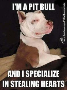Pit Bull Steals Our Hearts