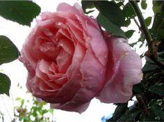 Brother Cadfael ,rose