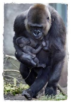 Gorilla mother carrying her newborn boy.