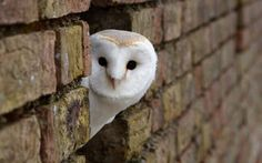 Twitter / OwlerHooter: @wildlife_uk owl is out on ...