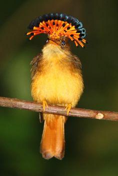 Maria-leque-do-sudeste pássaro brasileiro