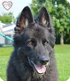 Westampton, NJ - Shepherd (Unknown Type). Meet Samson D-60479, a dog for adoption. http://www.adoptapet.com/pet/11343264-westampton-new-jersey-shepherd-unknown-type