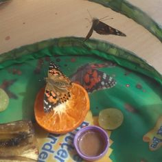 #Day20 #PaintedLady #Butterfly #Feeding on fruit #ButterflyHabitat #Beautiful #InsectLore #Nature #Metamorphosis #Transformation #Love #Caterpillars Getting ready to be released in the next few days! #WildLife #Wings #Minibeasts