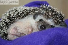 Hedgehogs are so cute... I want one!