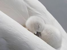 Nothing sweeter than a sleeping swan nestled in its mother's feathers.