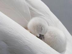 Baby swan sleeping on mom.