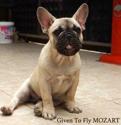 MOZART 3,5 months old French Bulldog Puppy. Owners: Turkbulls Kennel and Bosphorus Bulls Kennel TÜRKİYE CONTACT: Facebook/Bosphorus Bulls