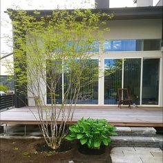 男性で、3LDKの庭/エクステリア/外構/シンプルモダン/ナチュラル/ガーデン…などについてのインテリア実例を紹介。「お気に入りのアオダモと大型のホスタ(^-^) ウッドデッキに心地良いシェードを作ってくれます☆」(この写真は 2016-05-17 20:12:43 に共有されました)