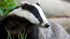 """A cull of badgers undertaken to stop TB being spread among cattle is described as """"a huge failure""""."""