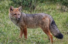 Patagonia, Ushuaia, Flora And Fauna, South America, Foxes, Canon, Animals, Tattoos, Argentina