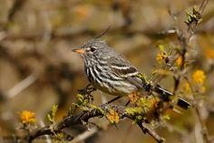 mis fotos de aves: Cachudito pico amarillo [Anairetes flavirostris] Y...