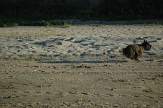 Piper running for the ball on our beach.  Cairn enthusiasm!