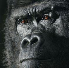 """At 29 years old, Djala the gorilla is quite the father-figure, with 20 offspring by six different females in 12 years at an English animal park. Had he been in the wild, life may not have been so good. """"Gorillas are hunted for bushmeat, a trade that involves the killing or capturing of up to a million primates a year for human consumption,"""" writes Blackwell. (Photo by Tim Flach)"""