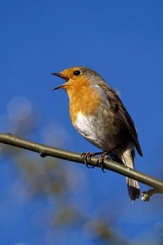 Illustration, Birds, Animals, Star, Red, House Martin, Chaffinch, Robin, Kinds Of Birds