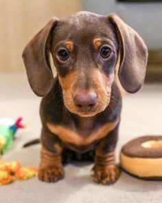 The Diverse Dachshund Breed - Champion Dogs Dachshund Funny, Dachshund Breed, Long Haired Dachshund, Dachshund Love, Daschund, Dapple Dachshund, Chihuahua Dogs, Doggies, Cute Puppies