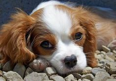 Penelope the Cavalier King Charles Spaniel Pictures 228643