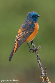 blue froanted redstart