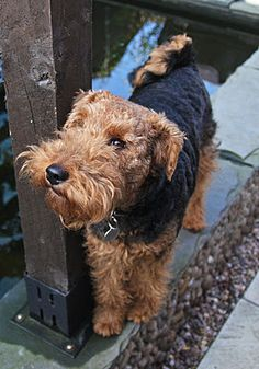 Welsh Terrier - Tess