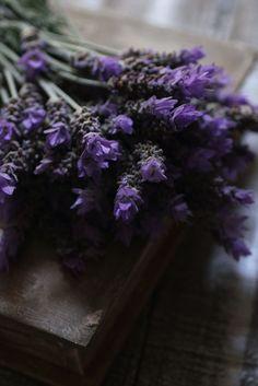 lavender, Lavandula dentata