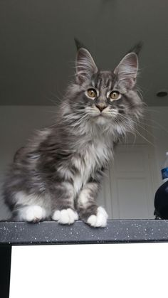 Maine Coon Cats For Sale In Iowa : maine, Maine